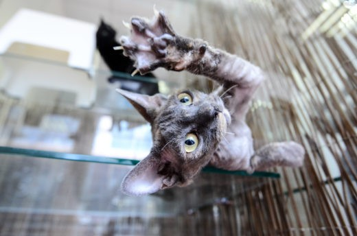 """Сфинкс — одна из самых популярных пород кошек у москвичей. Фото: Наталья Феоктистова, """"Вечерняя Москва"""""""