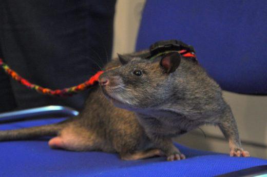 Каждая «ЗооПалитра» удивляет посетителей чем-нибудь новым и интересным. На прошедшей выставке огромный ажиотаж вызвал невиданный доселе участник выставки – гамбийская хомяковая крыса.