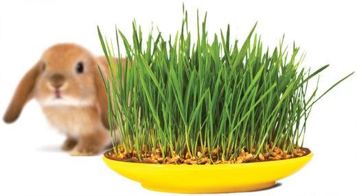 Опытные владельцы грызунов, кроликов и птиц тестируют качество зерна, входящего в состав корма, просто проращивая его.